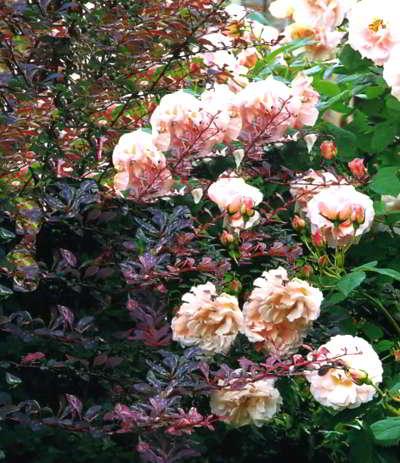 Нежно-розовые цветки кустарниковой розы