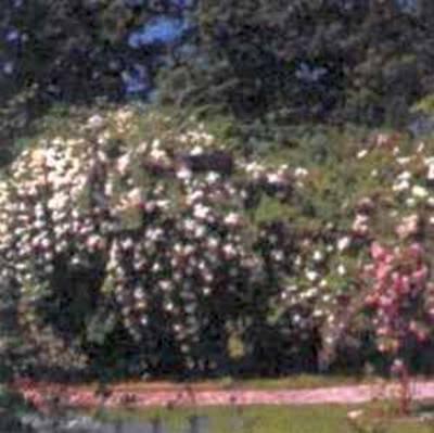 Ковровые цветники