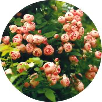 Испокон веков розам в саду отводится